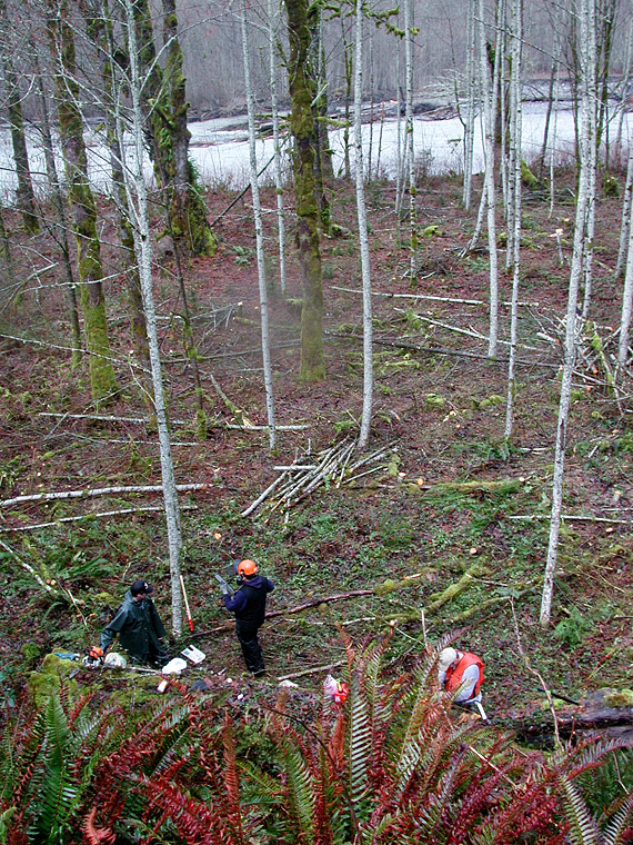 Thinning a young alder stand prior to conifer underplanting at the Shady Grove site
